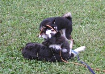黒柴と遊ぶボーダーコリー