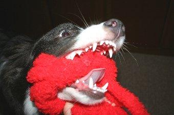 大口を開けて遊ぶ犬