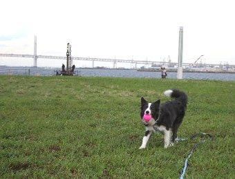 公園でボール遊びをする犬