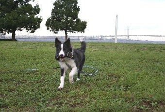 ロングリードで遊ぶ犬