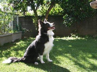 庭で指示の練習をする犬