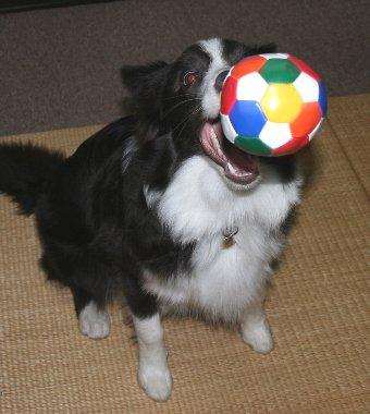 100均のボールで遊ぶ犬