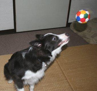 ボールを取り損ねる犬