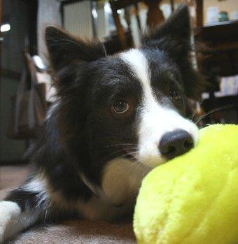 犬と同じ目線で撮ったボーダーコリー