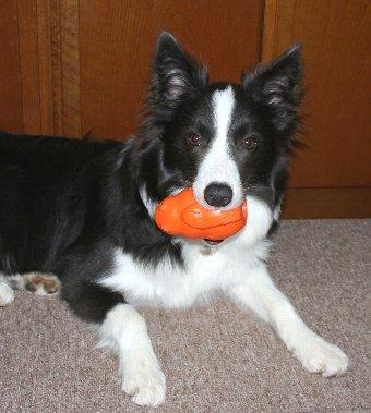 お気に入りのおもちゃをくわえる犬