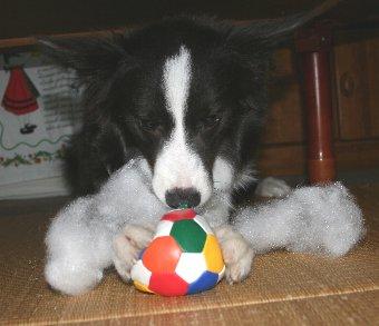 綿を出す犬