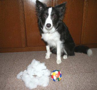 取り出した綿と記念撮影する犬