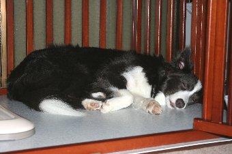 寝ているボーダーコリー