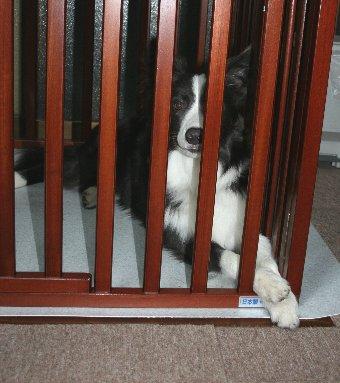 サークルの中からアピールする犬