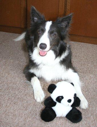 パンダのぬいぐるみをもらった犬