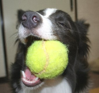 テニスボールをくわえる犬
