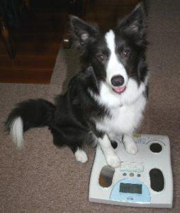 体重計に乗ろうとする犬