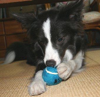 テニスボールをむしる犬