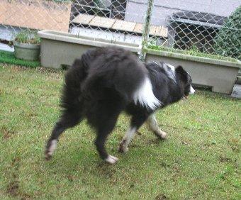 庭で遊んで足がドロドロになった犬