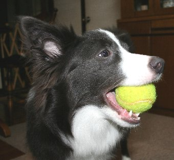 テニスボール大好きな犬