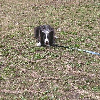 公園でロングリードで遊ぶ犬