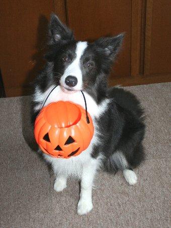 ハロウィンカボチャをくわえる犬