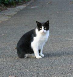 ボーダーコリー柄の猫