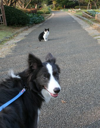 同じ柄の猫に会ったボーダーコリー