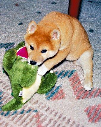ぬいぐるみで遊ぶ柴犬の子犬