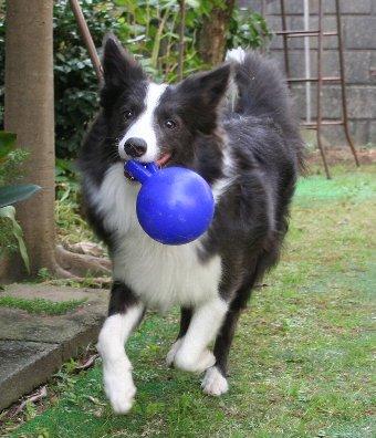 ジョリーボールで遊ぶ犬