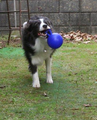 新しいボールが気に入った犬