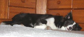 疲れて眠るボーダーコリー