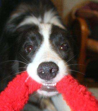 ひっぱりっこをする犬