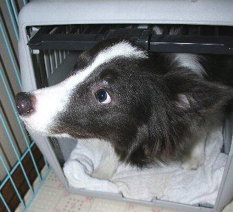 同居犬のいない間にハウスに入る犬