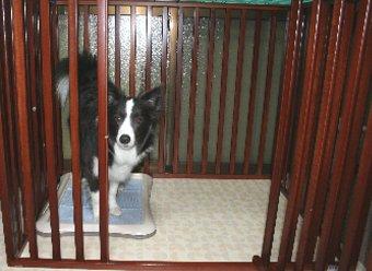 サークルから出てこない犬