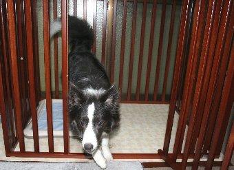 許可されてサークルから出る犬