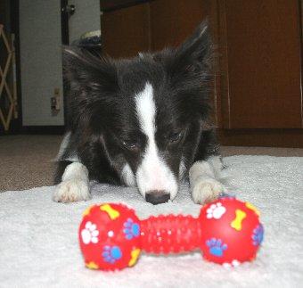 新しいオモチャに釘付けの犬