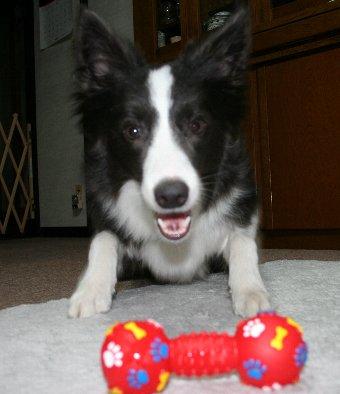 許可されて新しいオモチャに突進する犬