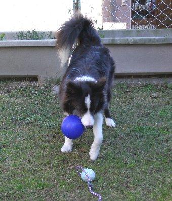 ボールが2つあって迷う犬