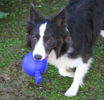 青いボールで遊ぶ犬