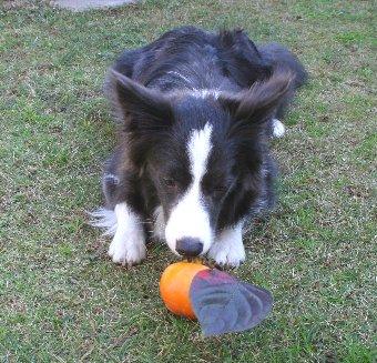 庭の柿に興味津々な犬