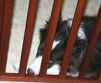 サークル内から恨めしそうな顔で見る犬