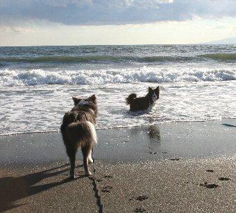 海岸で遊ぶボーダーコリー