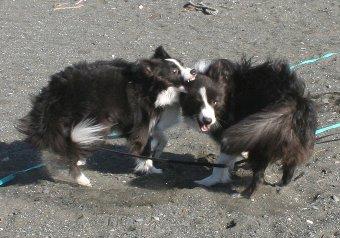 激しく遊ぶ2匹の犬