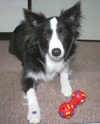 破壊したおもちゃと犬