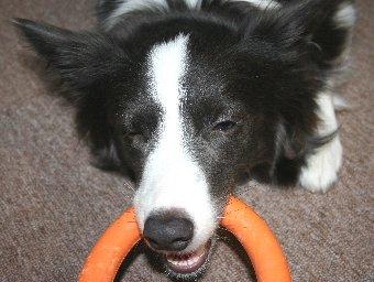 おもちゃを引っ張るのに夢中な犬