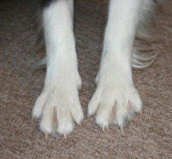 ボーダーコリーの足