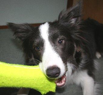 おもちゃをかじる犬