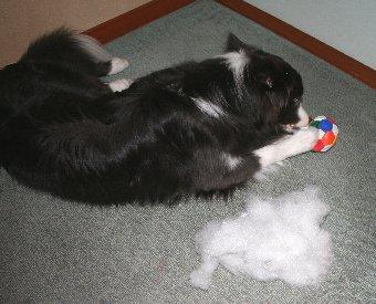 ボールから綿を取り出す犬