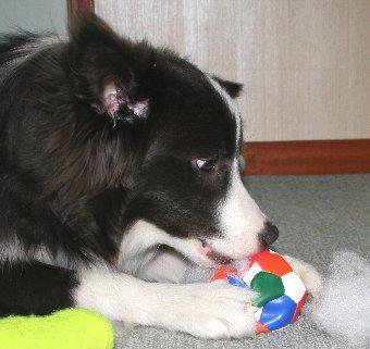 器用にボールから綿を出す犬