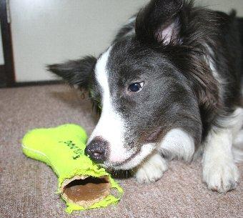 半分壊れたおもちゃと犬