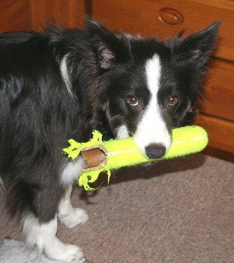 おもちゃ取られるのを警戒する犬