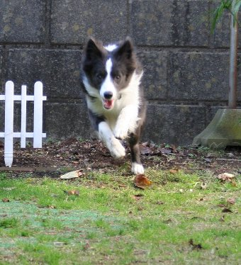 飛ぶように走るボーダーコリー