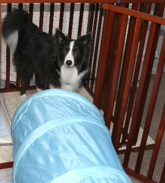 トンネルを抜けてサークルへ入る犬