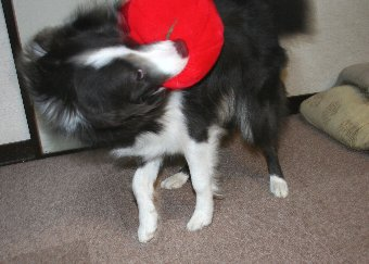 おもちゃを振り回す犬